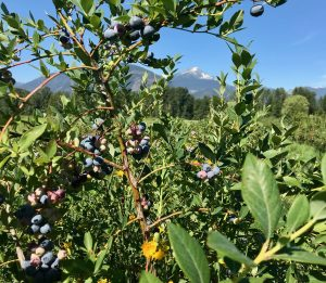 North Arm Farm Blueberries